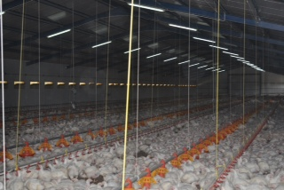 Chickens Farm