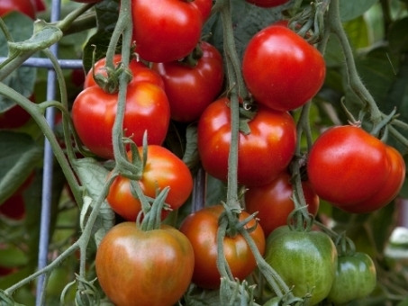 Tomatoes Production