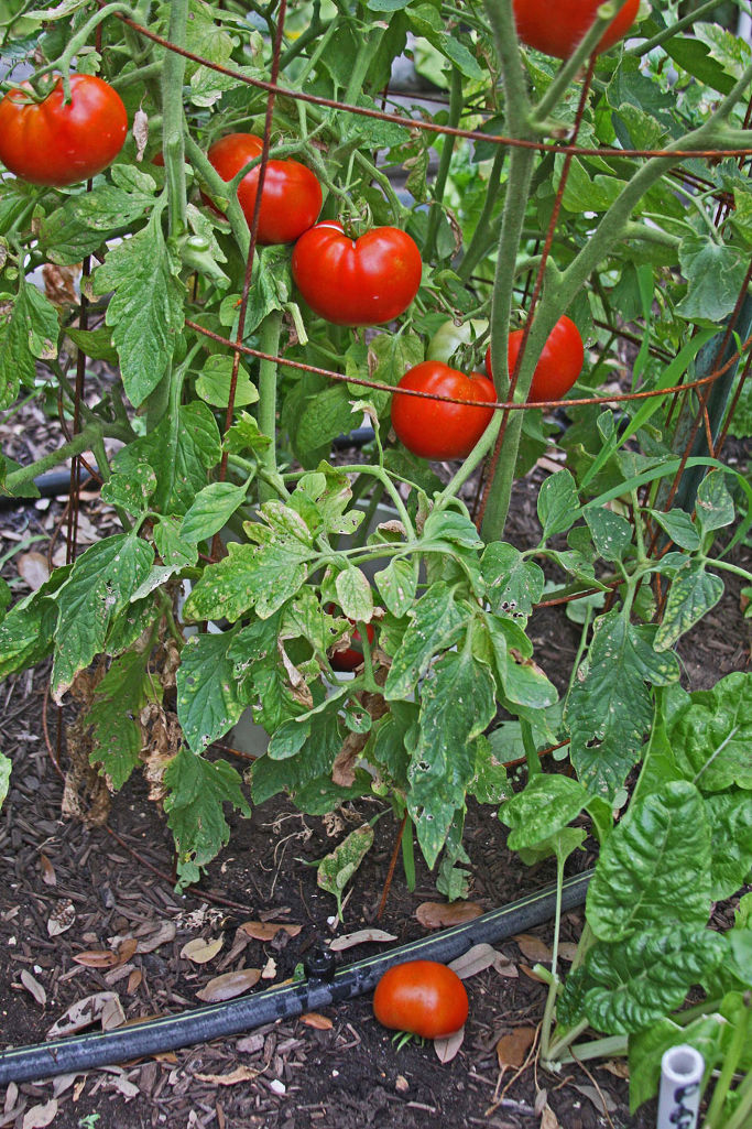 Production of Tomatoes